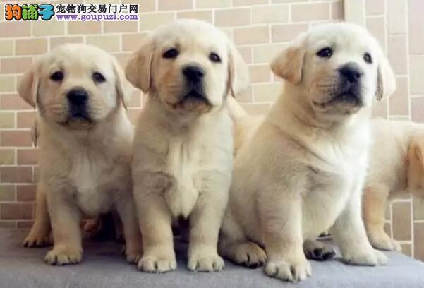 官方保障|犬舍繁殖拉布拉多 包纯种健康养活 送货上门