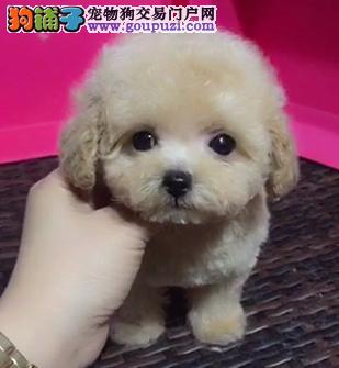 精品泰迪犬出售中,国内顶级泰迪名犬繁殖中心