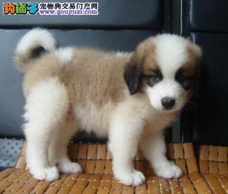 AAAAA精品伯恩山出售,国内顶尖犬舍专业繁殖伯恩山犬