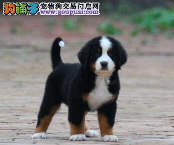 官方保障|犬舍繁殖纯种伯恩山 纯种健康养活 可签协议