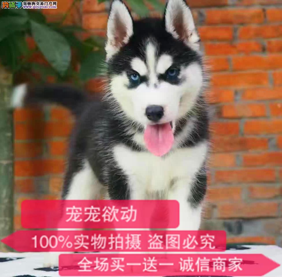 官方保障|犬舍繁殖纯种哈士奇 纯种健康养活 可签协议