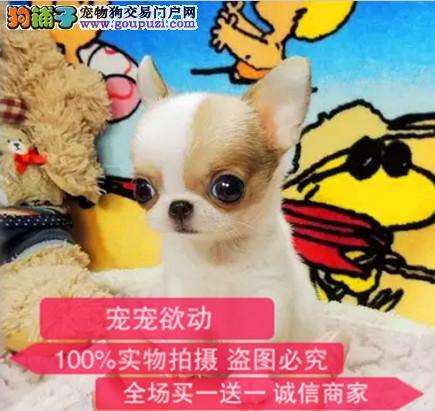 官方保障|犬舍繁殖纯种吉娃娃 纯种健康养活 可签协议