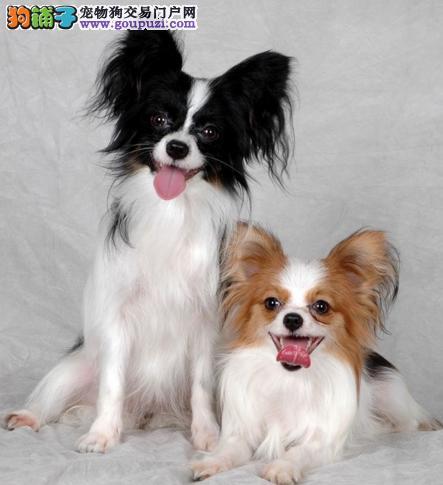 官方保障|犬舍繁殖纯种蝴蝶犬 纯种健康养活 可签协议