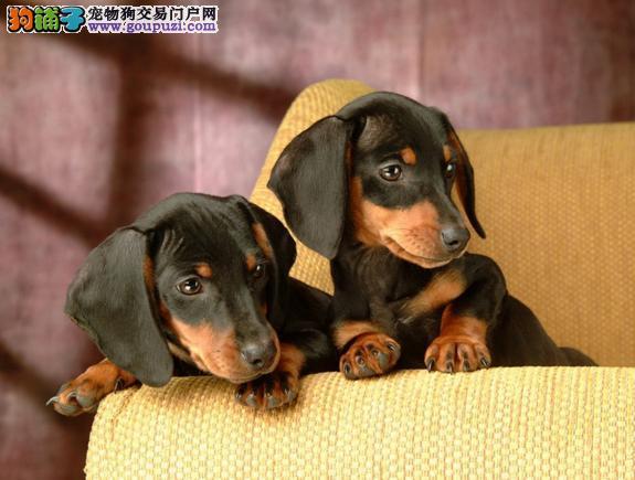 官方保障 犬舍繁殖纯种腊肠犬 纯种健康养活 可签协议
