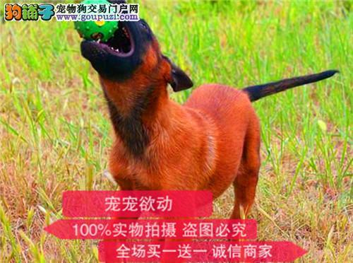 官方保障|犬舍繁殖纯种马犬 纯种健康养活 可签协议