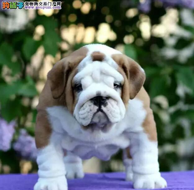 官方保障|犬舍繁殖纯种英牛 包纯种健康养活 送货上门