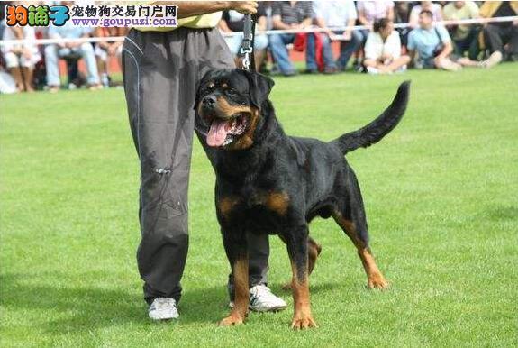 官方保障|犬舍繁殖纯种罗威纳 纯种健康养活 可签协议