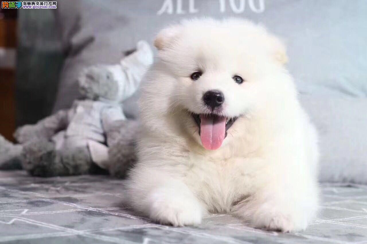 正规犬舍繁殖出售精品萨摩耶包健康纯种可第三方