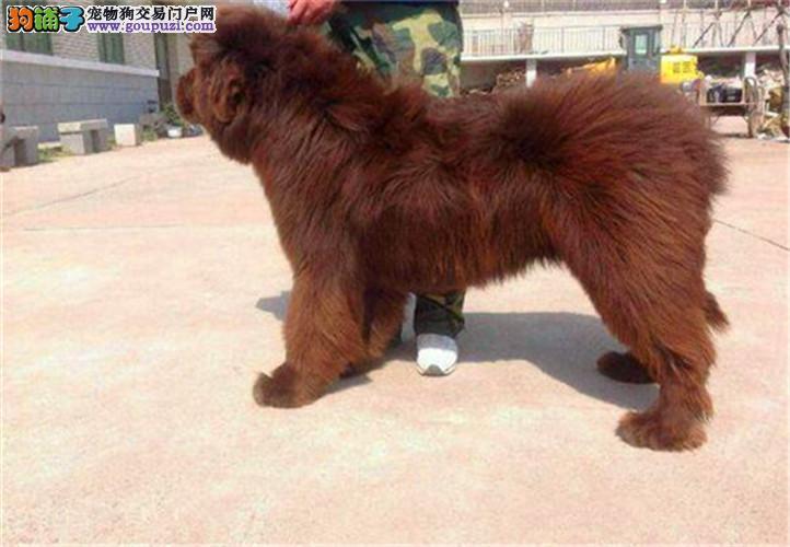 出售精品纽芬兰幼犬 包纯种健康 全国发货