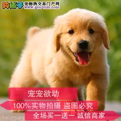 出售纯种金毛犬幼犬全国发货签订协议