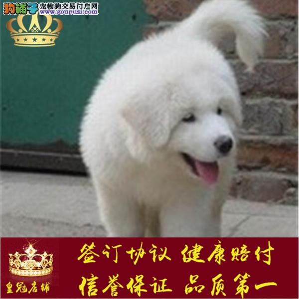 AAAAA犬舍直销纯正健康成都大白熊签订终身协议包邮