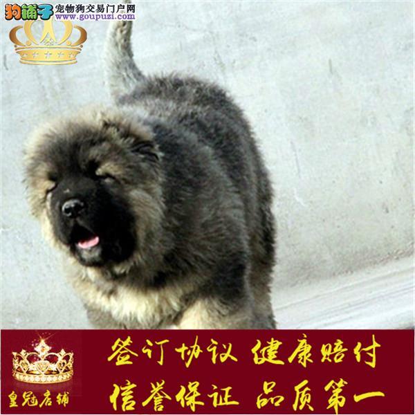 长期繁殖双血统高加索幼犬 全国发货包邮 包养活签协议
