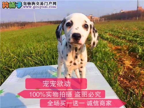 精品斑点幼犬出售长期繁殖纯大麦町斑点狗