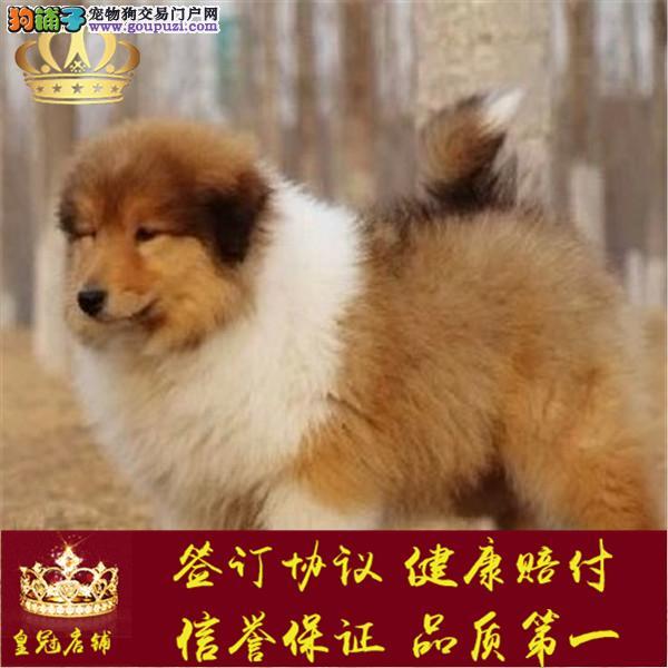 绝对纯种苏牧,聪明乖巧,保养活保健康苏格兰幼犬