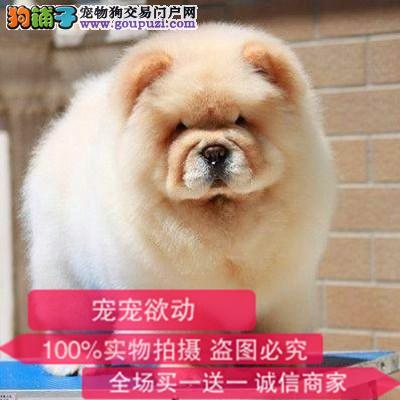 纯种带证松狮犬出售支持来犬舍选购支持送货上门