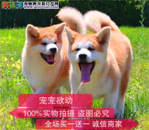 纯种日本秋田幼犬出售支持来犬舍选购支持送货上门