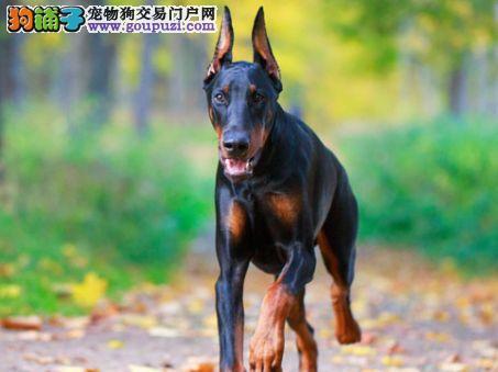 纯种带证杜宾迷你杜宾出售支持来犬舍选购支持送货上门