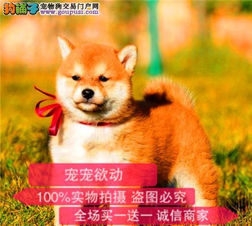 纯种带证日本柴犬出售支持来犬舍选购支持送货上门