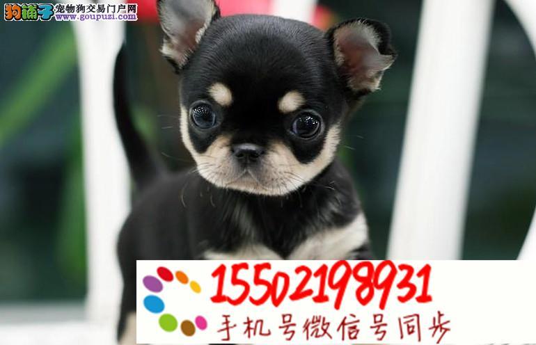 犬舍直销 纯种吉娃娃等品种幼犬 保健康z
