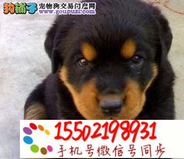 犬舍出售罗威纳幼犬健康有保障