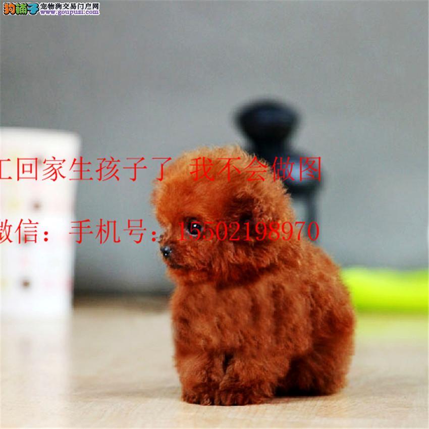 正规名犬基地出售精品宠物级茶杯犬