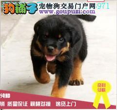 猛犬罗威纳幼犬出售、大头宽嘴吧公母可选疫苗齐嗯呢