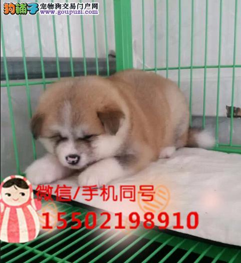 犬舍出售 冠军级血统日本秋田犬自家繁育