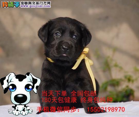 犬舍出售 纯种精品拉布拉多