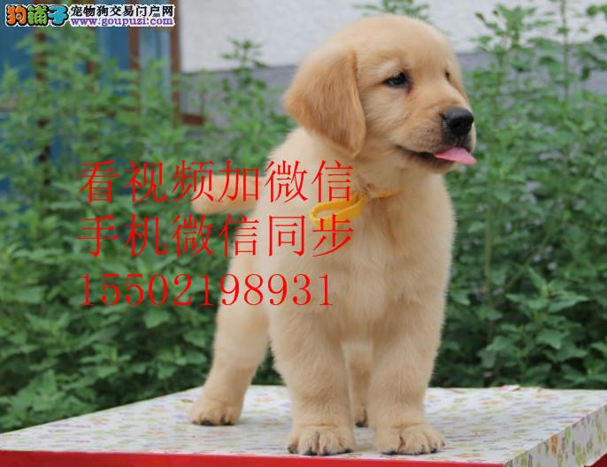 忠诚的象征 金毛巡回犬多色出售