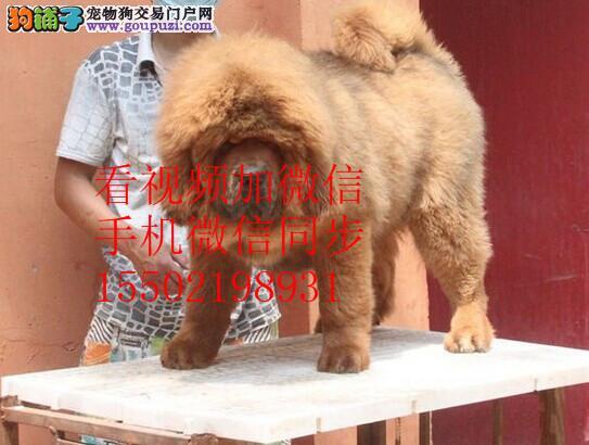 陆地霸主国家象征犬王藏獒保纯保健康*