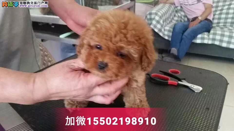 纯种泰迪贵宾犬包健康活体迷你茶杯型2