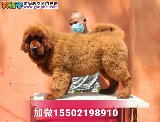 藏獒狗幼犬活体纯种出售巨型犬宠物狗红獒2
