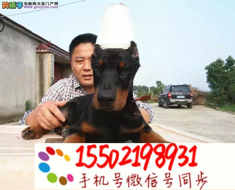 出售杜宾犬幼犬纯种 德系立耳疫苗齐全