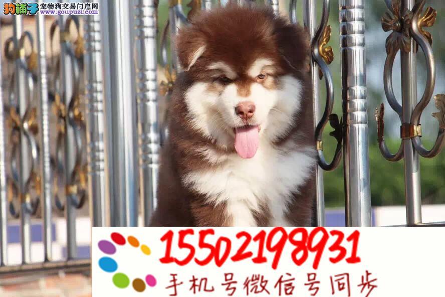 热销纯种 阿拉斯加幼犬 巨型阿拉雪橇犬幼犬