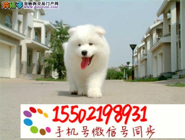 出售萨摩耶幼犬 银狐幼崽 熊版澳版工作犬@
