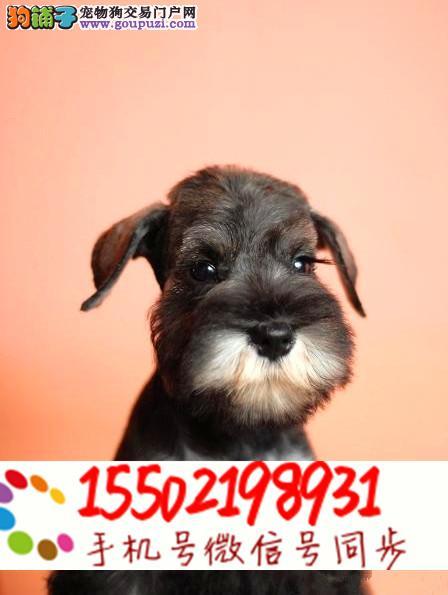 出售幼犬赛级 纯种雪纳瑞幼犬 疫苗齐全 @