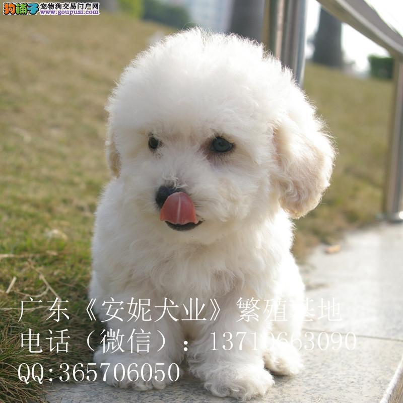 广州哪里有卖纯种比熊价格多少比熊幼犬怎么养