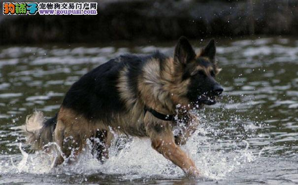 怎样挑选好训练的德国牧羊犬幼犬