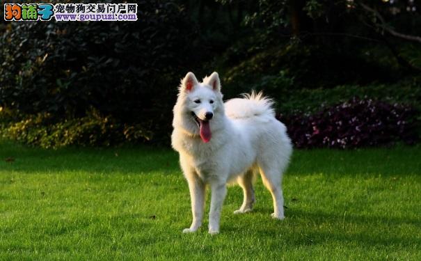 萨摩耶幼犬多少钱一只 挑选萨摩耶的方法