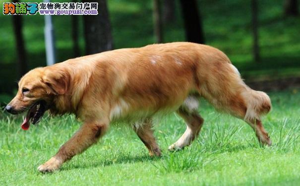 金毛犬能活多久 黄金猎犬的寿命