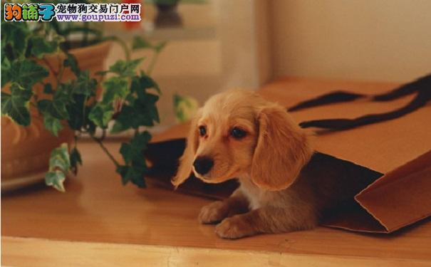 购买时怎么判断腊肠犬幼犬是否健康5