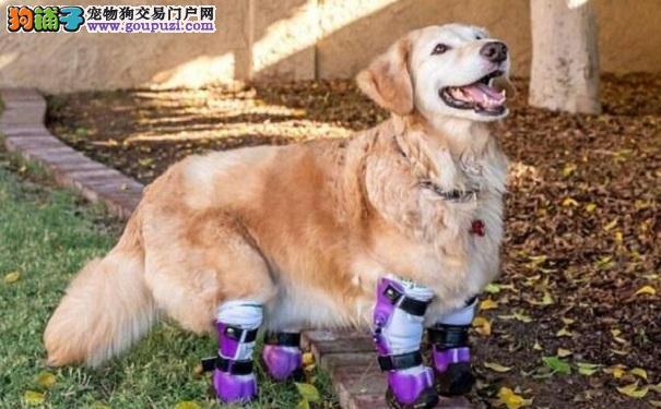 狗狗失去双腿 从屠宰场里被救出装上假肢重获新生