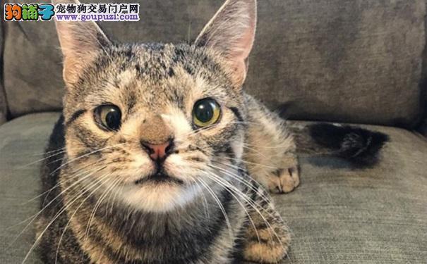 长相奇怪差点被安乐死 缺陷猫如今成为网红5