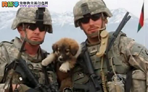 狗儿勇斗自杀炸弹手 救下50名美国大兵
