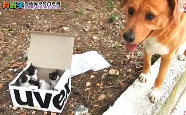 家犬遛弯时发现一盒小猫 变身最称职养父