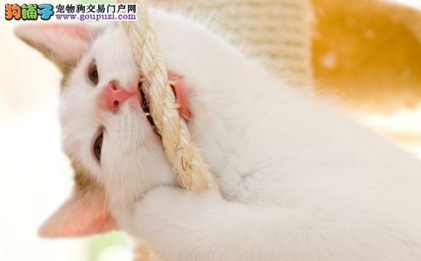 小猫3个月够期换牙 性格异变或会咬人