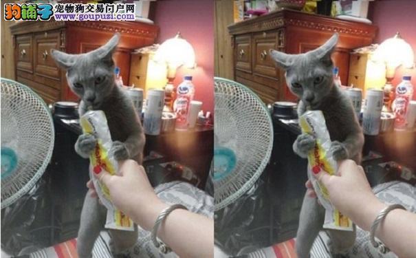 猫星人开飞机吹萨克斯风 吃个化毛膏有必要这样吗