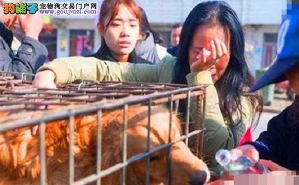 金毛失踪女主人到处寻找 最后屠宰场救下狗狗