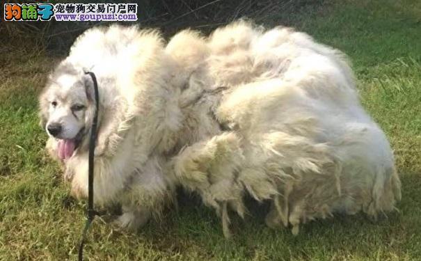 以为救了一只绵羊 没想到剪掉毛后它是只狗
