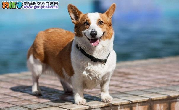 带柯基犬外出散步前要做好牵绳训练
